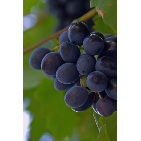 Víno Hrozny